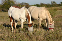 Two Horses. Sorrel overo paint mare and perlino quarter horse mare, both wearing masks for protection from sunburn and flies, grazing in pasture Stock Photo