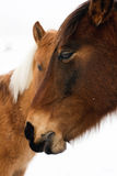 Two horses Royalty Free Stock Photos