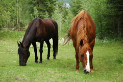 Two horses. Grazing Stock Images