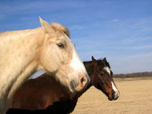 Two Horses. Two ranch horses in winter pasture,north Texas Royalty Free Stock Photo
