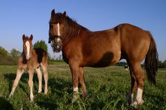 Two Horses. Mother and child royalty free stock photos