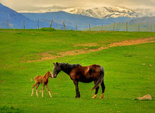 Two Horses Stock Photos