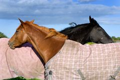 Two horses. On the pasture Royalty Free Stock Photography