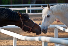 Two horses. Interaction between two horses on a summer evening Royalty Free Stock Photos