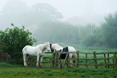 Two Horses across a Fence. Two horses close together across a fence in a paddock or pasture. The background is foliage and misty woodland in a typically rural Royalty Free Stock Photography