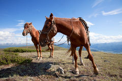 Two horses also tethered Royalty Free Stock Photo