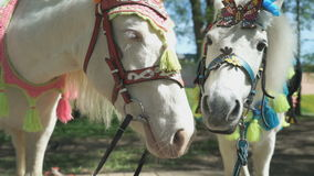 Two horses as called pony. Close up stock footage