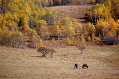Two horses in autumn prairie Royalty Free Stock Image