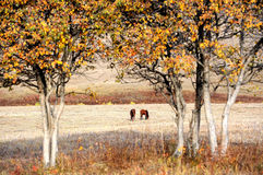 Two horses in autumn prairie Stock Images