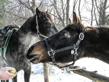 Two horses on a background of winter trees. Horse reaches for an apple stock images