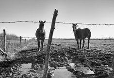 Two horses behind a fence Royalty Free Stock Images