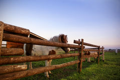 Two horses behind wooden fance Stock Photos