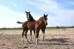 Two horses being curieus Royalty Free Stock Images