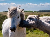 Two horses in the dunes of Ameland, Holland Royalty Free Stock Photos