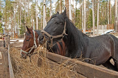 Two horses Royalty Free Stock Photos