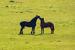 Two horses black and brown kissing on grassland stock photography