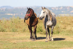 Two horses black and brown. On the meadow royalty free stock image