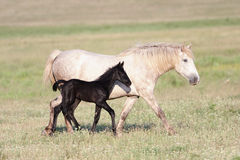 Two horses, black foal and white mother Stock Photos