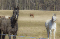 Two horses, black and white on the meadow Royalty Free Stock Photos