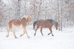 Two horses in a blizzard. Two horses running in a blizzard royalty free stock image