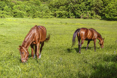 Two Horses with Bridles Pasture Stock Photography