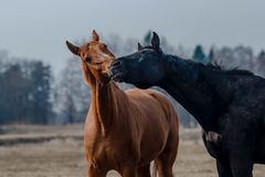 Two horses. Brown and black horse playing Royalty Free Stock Photography