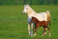 Two horses, brown foal and white mother. On the green meadow Stock Photography