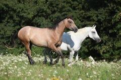 Two horses running Stock Photo