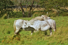 Two horses caressing each other Stock Images