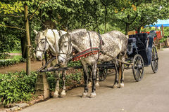 Two Horses in carriage. Two light horse harnessed to a light cart Stock Images