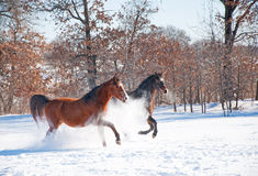 Two horses charging in deep snow Stock Image
