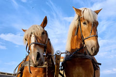Two horses in city Royalty Free Stock Photo