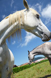 Two horses close-up. Two horses on a background of the rural landscape and blue sky Stock Photo
