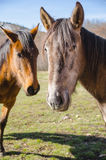Two horses in close-up Stock Photo