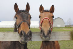 Two Horses in a Corral. Two horses stand attentively looking at the photographer while standing in their corral Royalty Free Stock Photography