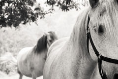 Two horses in the countryside. Two white horses in the countryside Stock Photography