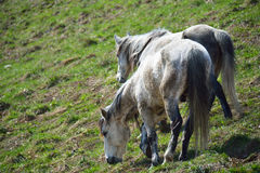 Two horses. A couple of horses eating the grass on the mountain slope Stock Image