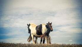 Two Horses Cuddling Royalty Free Stock Photos
