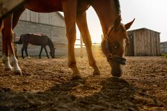 Two horses at dawn stock photo