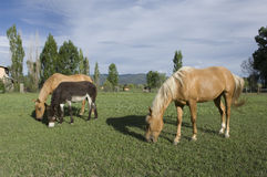 Two Horses and a Donkey. Graze in a New Mexico pasture stock photo