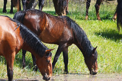Two horses drink water from summer pond Royalty Free Stock Image