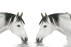 Two horses drinking. Water isolated on white Royalty Free Stock Photography