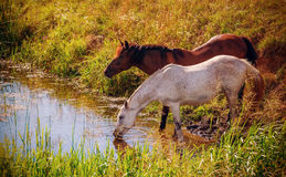 Two horses drinking water from the creek. Brown and white horses drinking water from the creek in sunset time. Vintage effect Stock Image