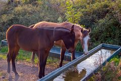 Two horses drinking water. Close vie royalty free stock image