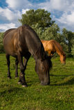 Two horses eat grass Royalty Free Stock Photos