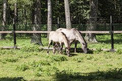 Two horses eat the grass, Bialowieza National Park Royalty Free Stock Images