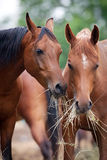 Two horses eat hay outside. stock image