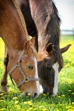 Two horses eating. Grass with yellow flowers Stock Photography