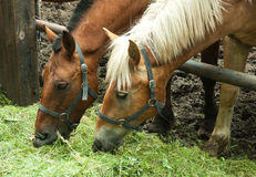 Free Two Horses Eating Stock Photography - 42652482