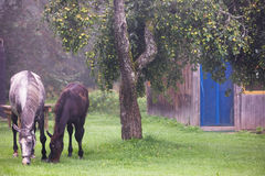 Two horses eating apples on the grass in the countryside Royalty Free Stock Photos